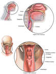 Anatomy of the Oral Cavity and Pharynx
