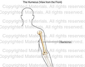 The Humerus (View from the Front)
