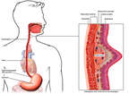 Anatomy of the Esophagus