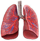 Lungs with Blood Vessels and Trachea, Anterior View