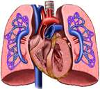 Heart and Lungs with Pulmonary Artery Circulation