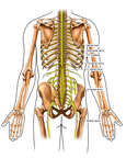 Anatomy of the Spinal Nerves