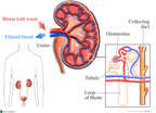Anatomy of the Kidney