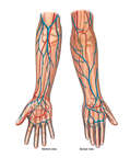 Vascular Anatomy of the Arm and Hand