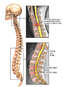 Post-accident Cervical, Thoracic and Lumbar Spinal Disc Injuries