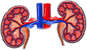 Anatomy of the Kidneys and Renal Blood Vessels