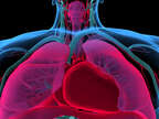 Anatomy of the Respiratory System and the Heart