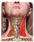 Vagus and Phrenic Nerves in the Neck Region -