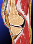 Parasagittal view of the Knee