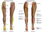 The Cutaneous and Muscular Innervation of the L5 Spinal Nerve Root
