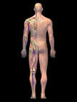 Anatomy of the Cardiovascular and Skeletal Systems with Nerves, 3D Posterior Male-BW