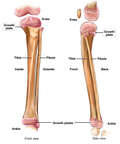 Normal Anatomy of the Lower Leg