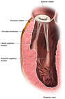 Anatomy of the Mitral Valve (Posterior View)