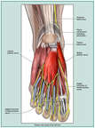 Plantar Anatomy of the Left Foot
