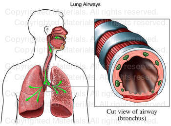 Lung Airways