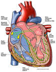 Cardiac Conduction System of the Heart