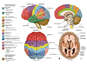 Anatomy and Functional Areas of the Brain