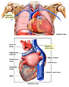 Anatomy of Posterior Heart
