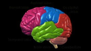 Brain -  Anatomy and Functional Areas