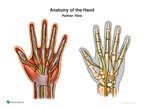 Anatomy of the Hand - Palmar View