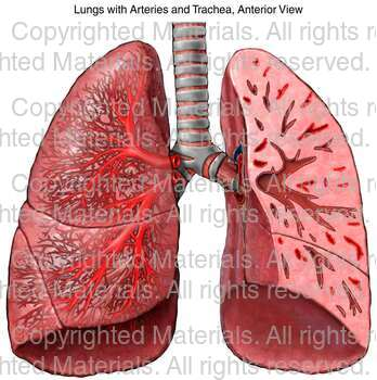Lungs with Arteries and Trachea, Anterior View