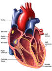 Heart - Cardiac Conduction System