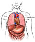 Anatomy of the Thoracic (Chest) Organs