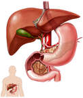 Anatomy of the Liver, Gallbladder and Biliary System