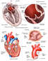 Anatomy of Heart and Aorta