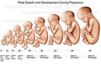 Fetal Growth and Development During Pregnancy