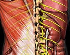 Thoracic Spinal Nerves: Renal
