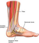 Anatomy of the Foot and Ankle