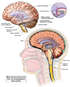 Intracranial Circulation of Cerebrospinal Fluid (CSF)