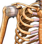 Normal Anatomy of the Shoulder Capsule