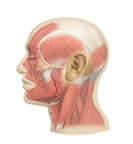 Muscles of the Face and Head - Lateral View