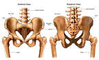 Anatomy of the Pelvis and Sacroiliac Joints