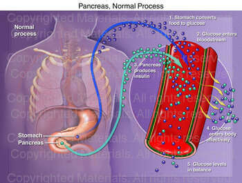 Pancreas, Normal Process