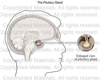 The Pituitary Gland
