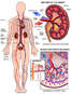 Anatomy and Physiology of the Kidney