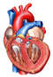 Hypertrophy of the Heart