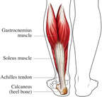 Achilles Tendon: Posterior (Back) View