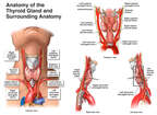 Anatomy of the Thyroid Gland and Surrounding Anatomy