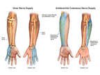 Cutaneous Nerve Supply to the Left Arm, Wrist and Hand