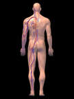 Anatomy of the Cardiovascular System, 3D Posterior Male-BW