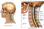 Normal Anatomy of the Cervical Spine