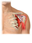 Rotator Cuff/Shoulder