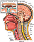 Normal Anatomy of the Brain, Spinal Cord and Meninges