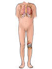 Male Figure with Ribcage and Knee Anatomy