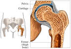 Healthy Hip Joint
