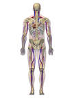 Anatomy of the Cardiovascular and Skeletal Systems, 3D Posterior Male